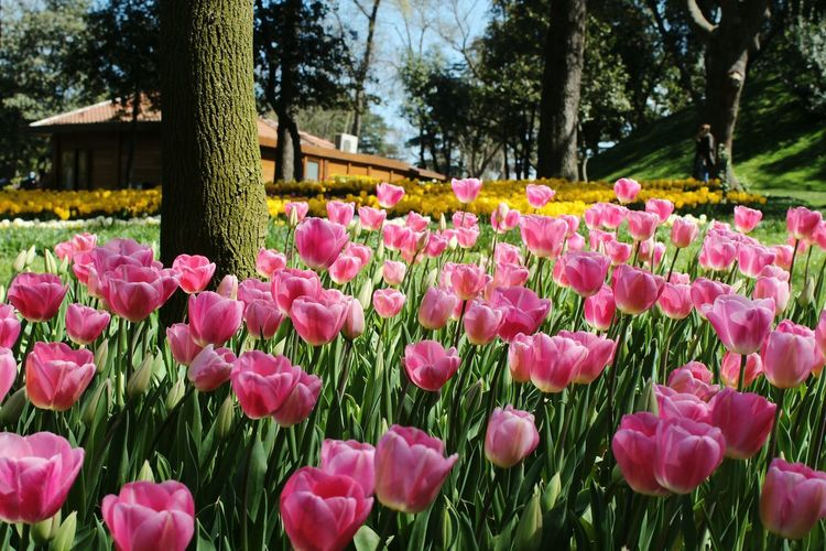 Pink tulips in park