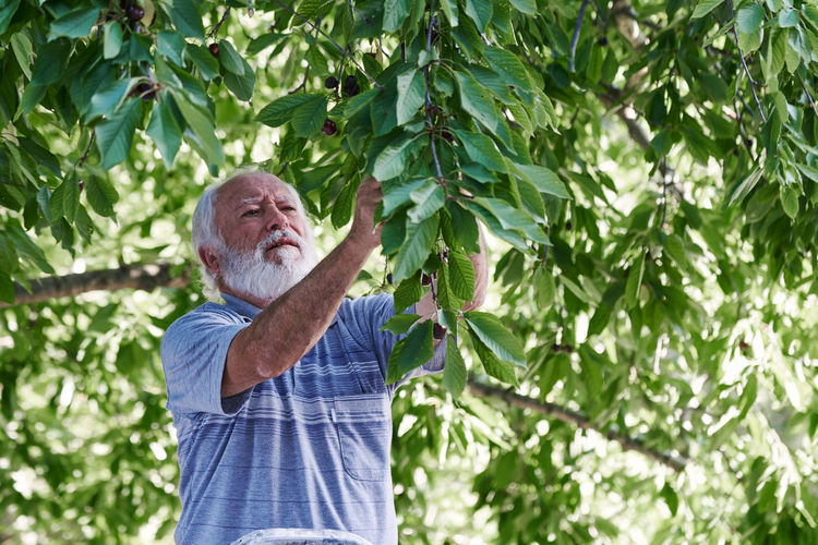 An elderly man picking cherries from the tree. concept nature