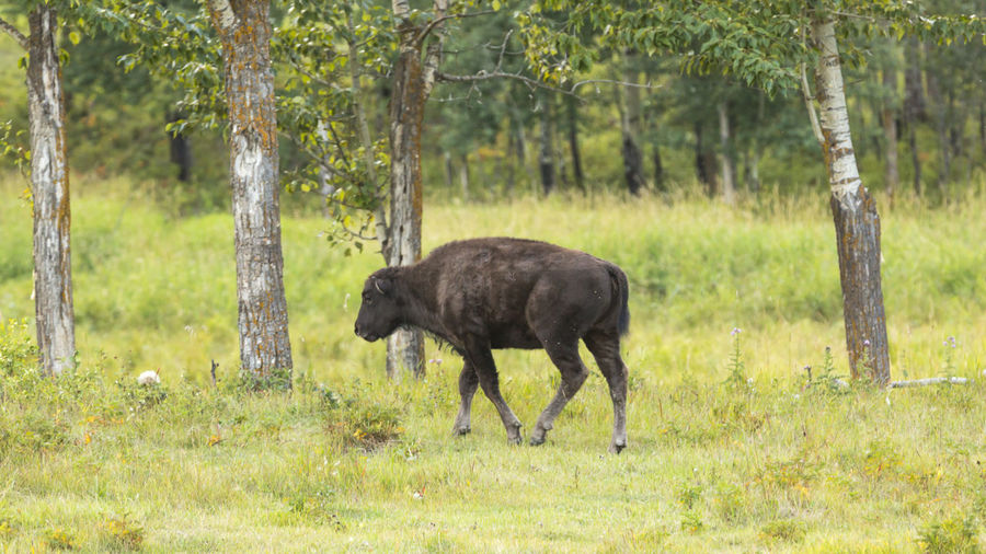 Baby Bison Animal Animal Themes Animal Wildlife Animals In The Wild Day Field Forest Grass Herbivorous Land Landscape Mammal Nature No People One Animal Outdoors Plant Tree Tree Trunk Trunk Vertebrate WoodLand