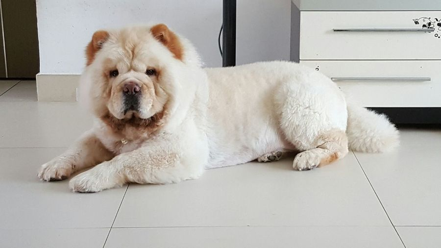 Good afternoon Relaxing Cute Sudoku Doku Chow Chow Dog Eyemdog ChowChow Cream Chow Good Afternoon Love Enjoying Life Happy