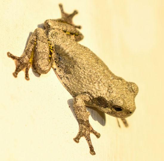 froggie Reptile