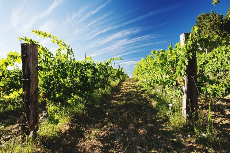 Growth Tree Nature Agriculture Plant Sky Beauty In Nature Sunlight Outdoors No People Cloud - Sky Day Winemaking Wine Grapes 🍇 Grapes Wineyard Agriculture Field Wineyards Beauty In Nature Nature Landscape Plant Leaf