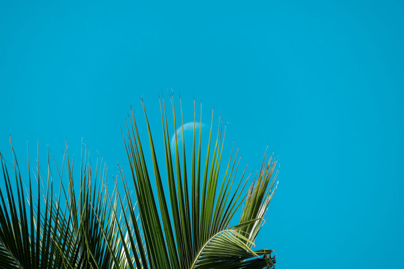 The moon through the Palm tree! Beauty In Nature Blue Close-up Day Green Color Growth Low Angle View Moon Nature No People Outdoors Pastel Colors Pastel Power Plant Sky Tranquility TakeoverContrast