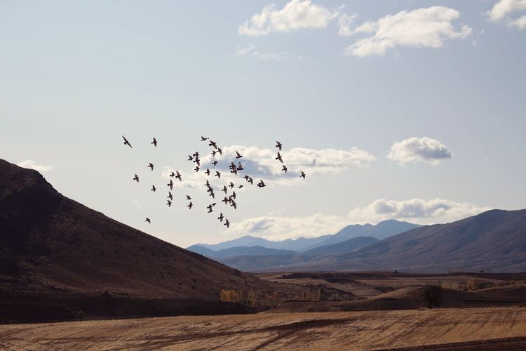 Flock of birds flying over mountains against sky