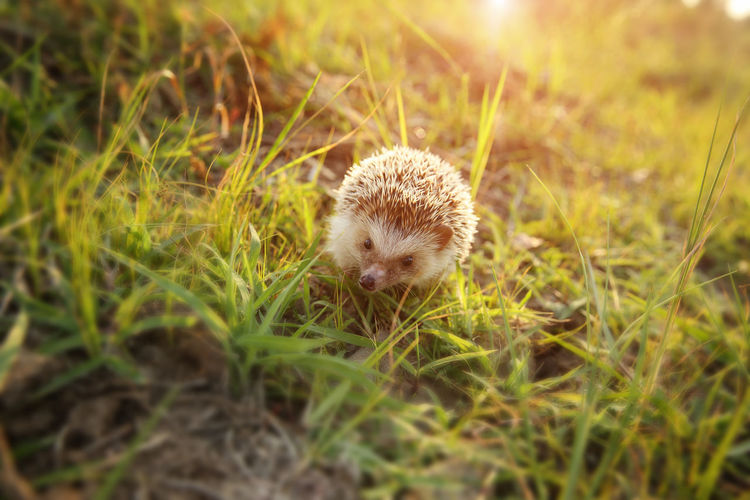 Animal Grass Animal Themes Plant One Animal Animal Wildlife Mammal Nature Field No People Animals In The Wild Land Selective Focus Hedgehog Green Color Vertebrate Day Close-up Outdoors Young Animal