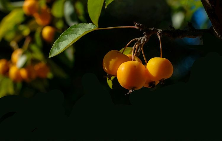 Wildapfel Beauty In Nature Close-up Day Focus On Foreground Food Food And Drink Freshness Fruit Growth Healthy Eating Leaf Malus Nature No People Orange Color Outdoors Plant Plant Part Ripe Tree Wellbeing