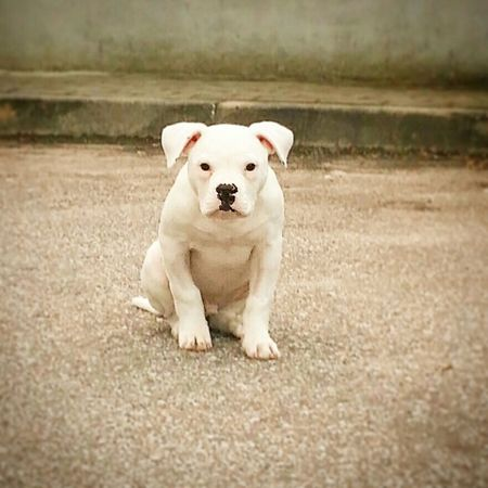 Budy American Bulldog