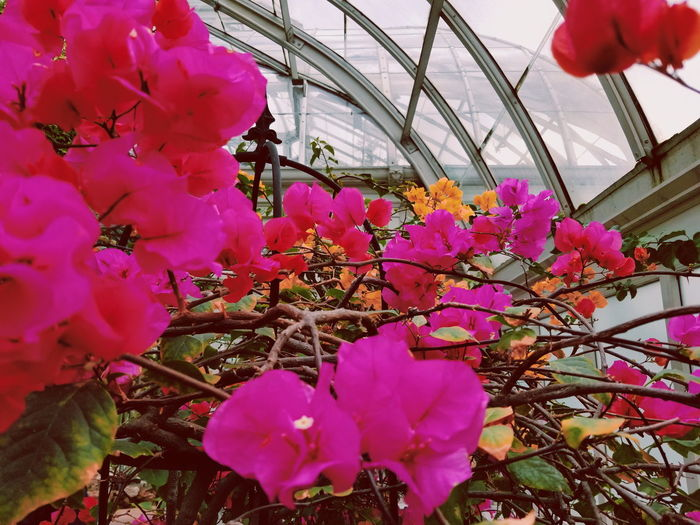 The Orchid Show // 1🌹 Spring Flowers Pink Fluorescent Botanicalgardens Plants Floral NY NYC Aesthetic Colorful Plantlovers Urbanjungle Houseplants Plantlove Orchids Love Bronx Orchidshow Flower Flower Head Greenhouse City Hanging Pink Color Close-up Architecture Sky Plant