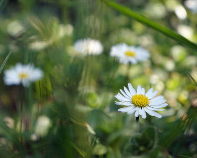 Spring... Flower Flowering Plant Freshness Fragility Vulnerability  Plant Beauty In Nature Growth Petal Flower Head White Color Inflorescence Close-up Yellow Daisy Focus On Foreground Nature Pollen Day No People Outdoors