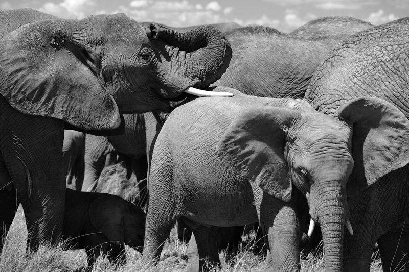 Elephants roaming the Serengeti on a hot summer day. Beautiful animals to see in person as they stroll through the grasslands. Animal Themes Animal Mammal Animal Wildlife Vertebrate Day No People Outdoors Herbivorous Elephant Elephants Elephants <3 Wild Elephant Wild Elephant Family Elephant Herd Serengeti Serengeti National Park Serengeti, Tanzania Wildlife Wildlife & Nature Wildlife Photography Wild Animals Tusks And Trunk Safari Animals Safari
