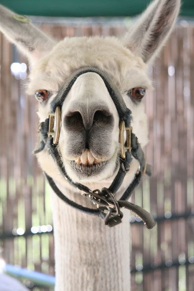 Country Life County Fair Large Animal Llama Animal Animal Face Animal Eyes Animal Photography Animal Head  Animal Collection Animal Smile