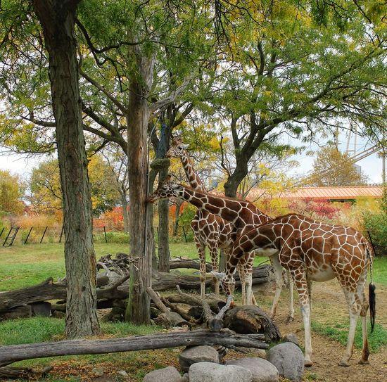 Zoo Day Zoo! ZOO-PHOTO Zoo Animals  Zoo Indianapolis  Indiana Indianapolis Zoo Giraffe ♡ Giraffes! Giraffe♥ Giraffes Giraffe