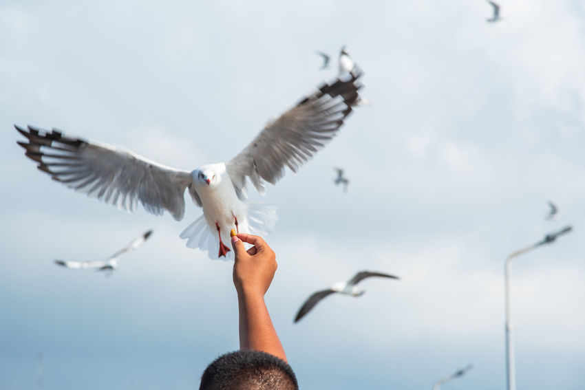 seagulls in action is flying on the sky with cloud,It is hovering food in hands Flying Bird Spread Wings Animals In The Wild Animal Wildlife Vertebrate One Person Human Body Part Nature Hand Motion Mid-air Human Hand Real People Day Body Part One Animal Seagull Outdoors Finger