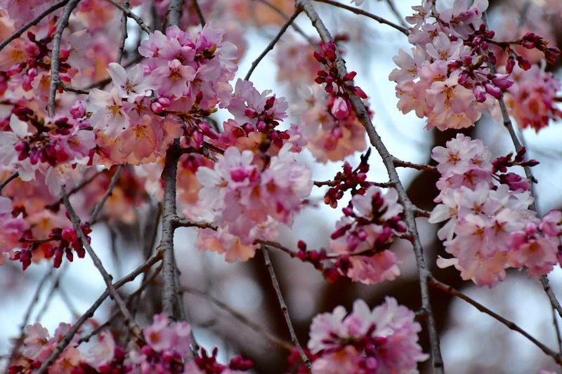 Sakura Cherry Blossom Plant Flower Flowering Plant Growth Tree Freshness Fragility Branch Pink Color Springtime Close-up Blossom No People Day Beauty In Nature