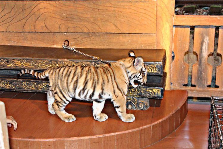 Tiger Feline