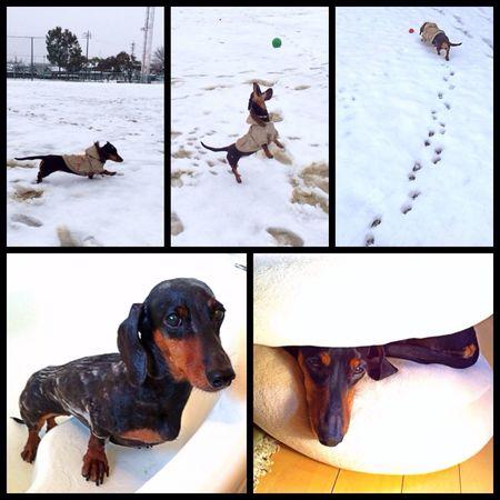 Dachshound Dog Dog Walking