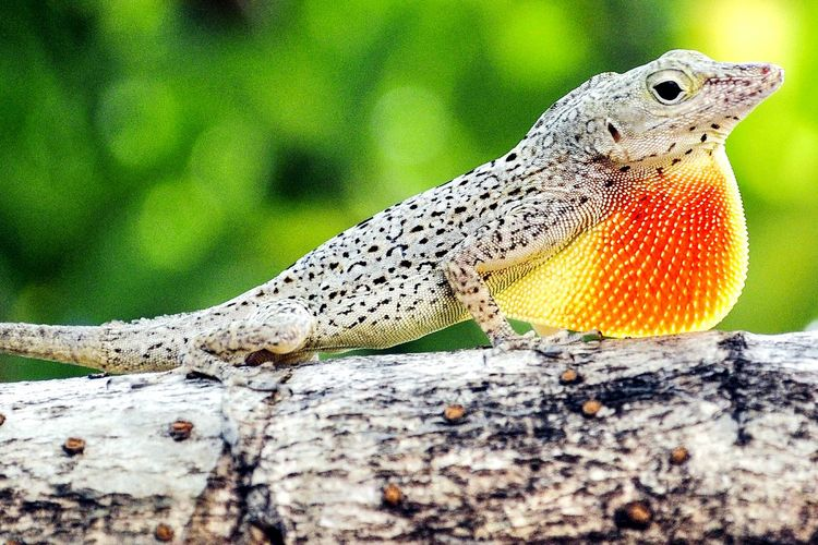 Backyard Photography Puerto Rico Caribbean Life Nature Lagartijo Manchado Barred Anole Anolis Stratulus Lagartijo Lizard Beauty In Nature Reptile Taking Pictures Animals In The Wild Animal Wildlife