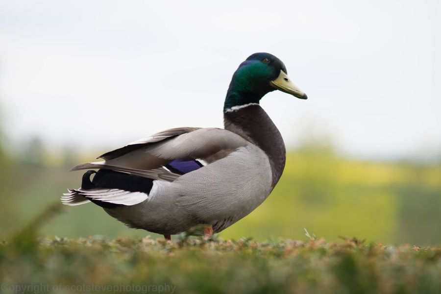 Bird Animals In The Wild Animal Themes One Animal Animal Wildlife Duck Focus On Foreground Nature Day Mandarin Duck No People Outdoors Beauty In Nature Close-up