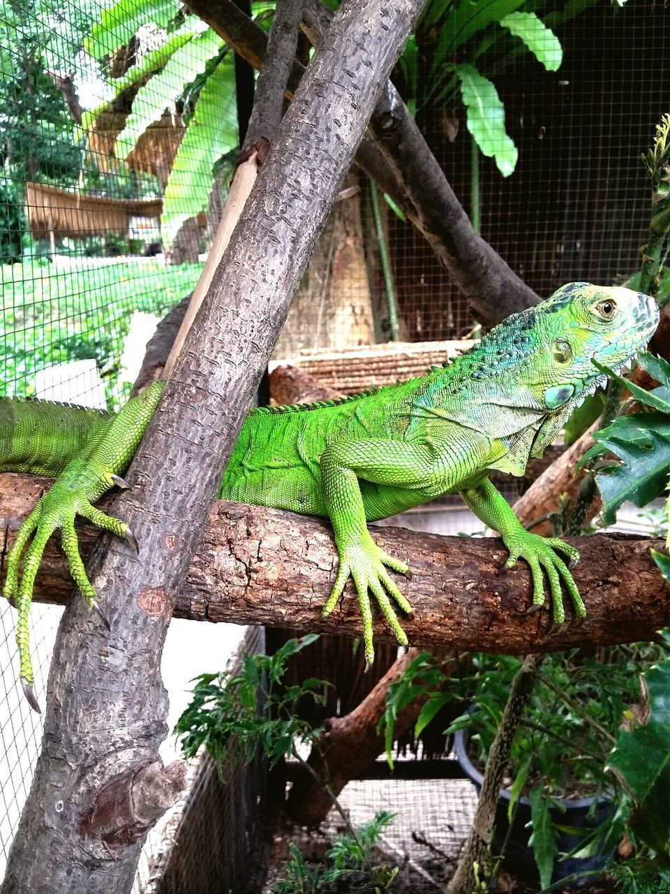 reptile, animal themes, one animal, animals in the wild, green color, lizard, animal wildlife, tree, nature, day, no people, branch, chameleon, outdoors, tree trunk, iguana, climbing, close-up, mammal