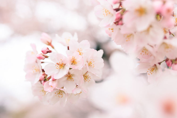 Almond Tree Beauty In Nature Blossom Branch Cherry Blossom Cherry Tree Close-up Day Flower Flower Head Fragility Freshness Growth Nature No People Outdoors Petal Pink Color Plum Blossom Sky Springtime Tree Twig