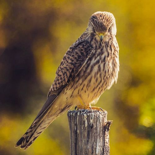 Close-Up Portrait Of Hawk Perching On Wooden Post
