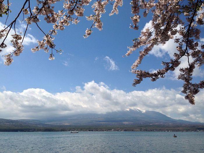 富士山 山中湖 桜 山梨