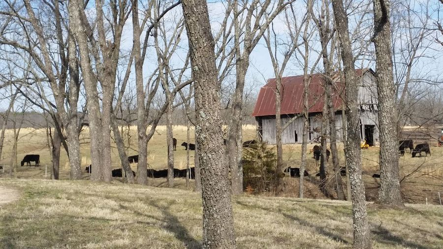Country Side Gravel Road Barn Cows Black Angus Missouri Ozarks United States Barn Roof Peaceful Scene Tree Bare Tree Sky Architecture Building Exterior Built Structure Agricultural Building Field Countryside Exterior