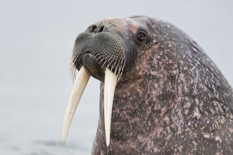 Close-Up Of Walrus Against Sky