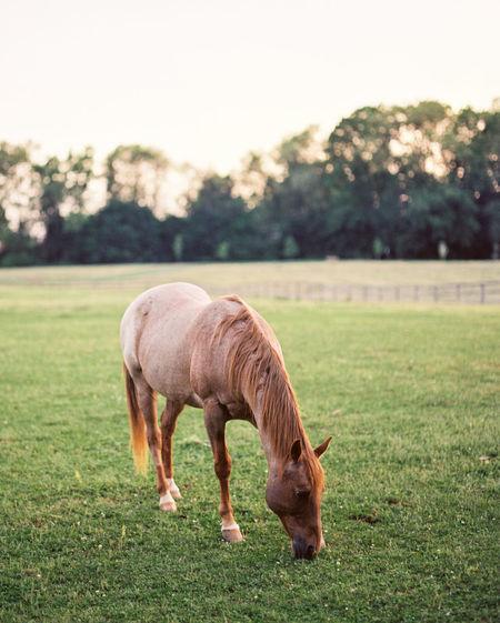 Horse Pennsylvania Field Sunset America Film Film Photography Mammal Grazing