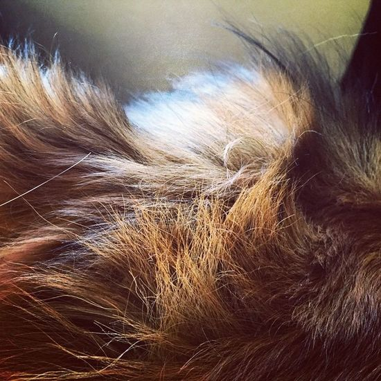 Zeus's gorgeous head (body?) of hair, my gorgeous GSD ridgeback cross. GSD Ridgeback Germanshepherd Pantene  Hair