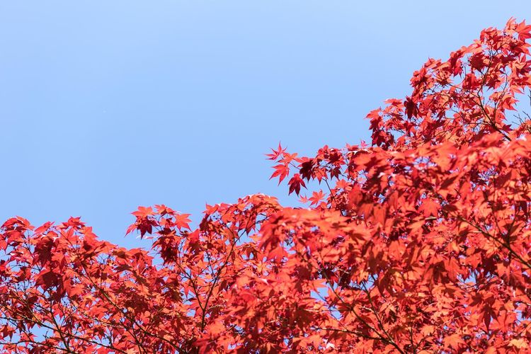 Autumn Beauty In Nature Blossom Blue Branch Change Clear Sky Copy Space Day Fragility Freshness Growth High Section In Bloom Leaf Low Angle View Majestic Nature Red Scenics Season  Tranquil Scene Tranquility Tree Vibrant Color