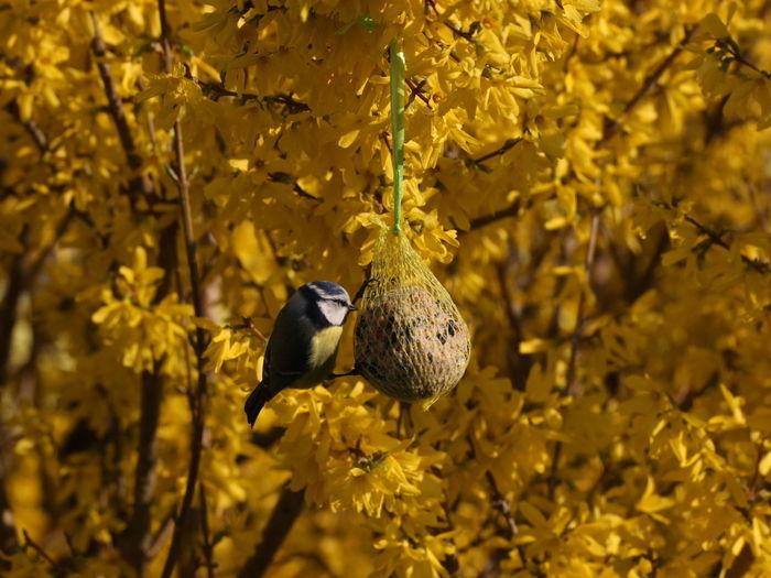 Animals In The Wild Beauty In Nature Bird Blaumeise EyeEm Nature Lover Focus On Foreground Forsythienblüten In My Garden Wildlife
