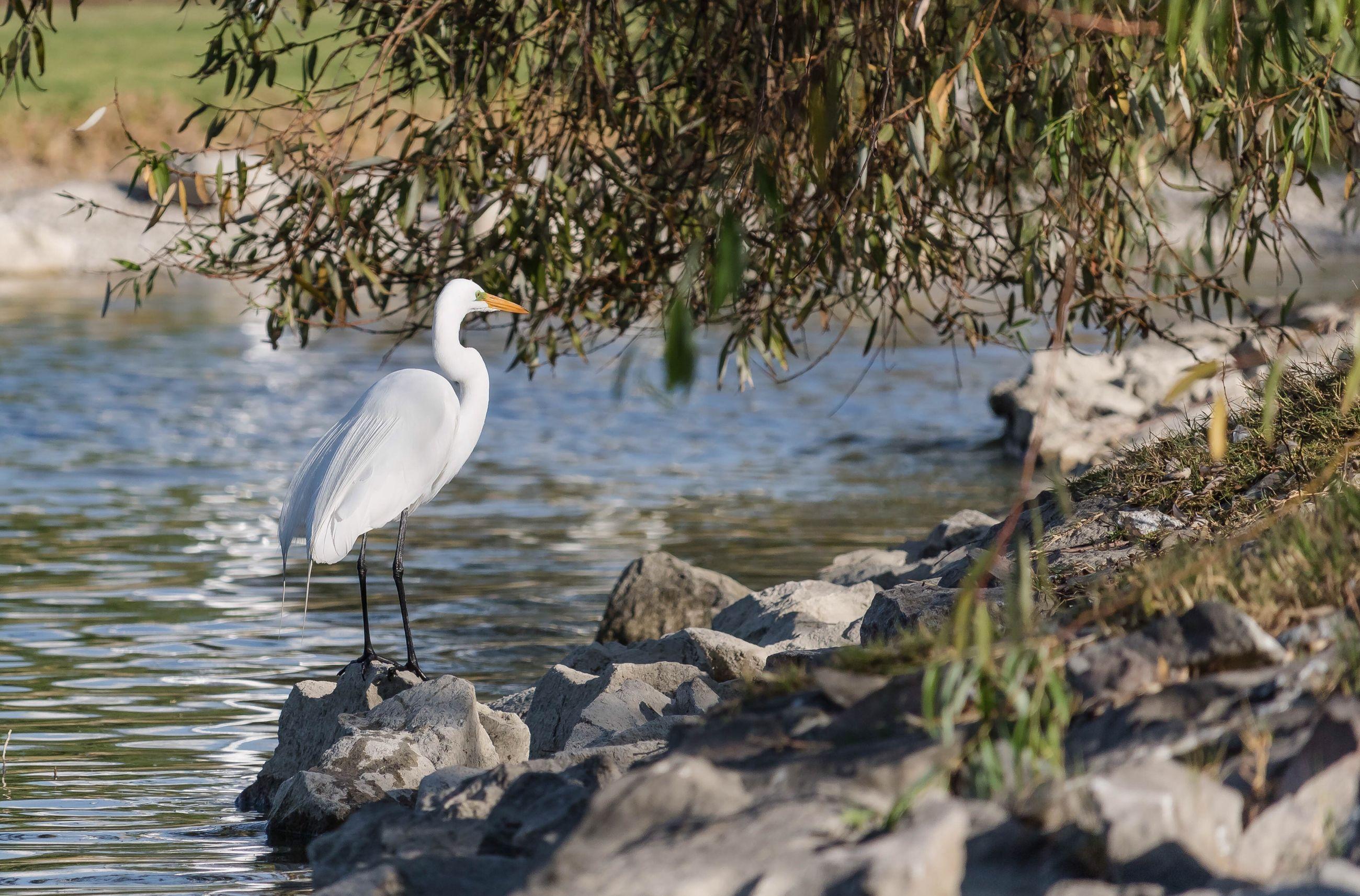 bird, animal wildlife, animals in the wild, no people, nature, day, tree, heron, outdoors, egret, perching