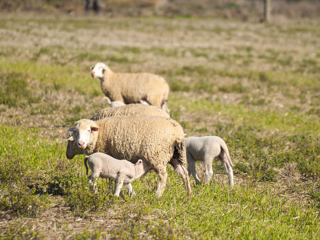 Animal Animal Themes Animals Cattle Environment Farm Farm Life Flock Of Sheep Grass Grazing Landscape Livestock Mammal Nature Pasture Pasture, Paddock, Grassland, Pastureland Rural Lanscape Rural Life Rural Scene Scenery Sheep Sheeps Sucking Togetherness Young Animal