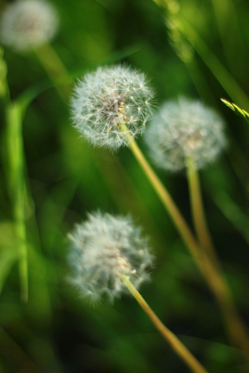 growth, flower, nature, dandelion, fragility, plant, softness, beauty in nature, focus on foreground, close-up, outdoors, freshness, no people, day, flower head