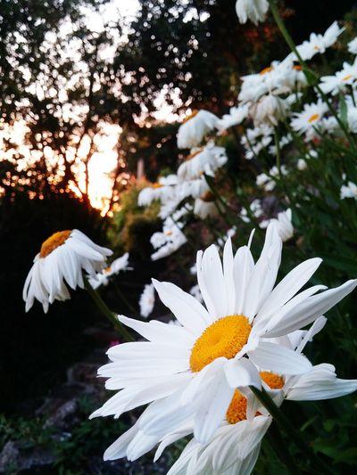 Daisies sunset