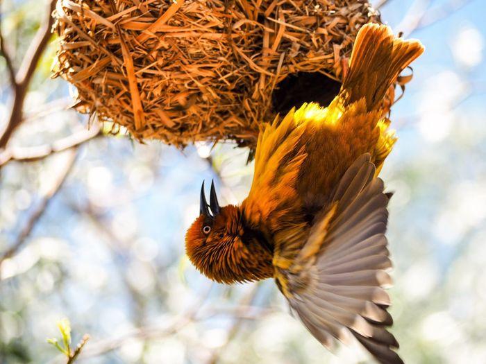 Nest Wings Animal Themes Animal Animals In The Wild One Animal Animal Wildlife Vertebrate Bird