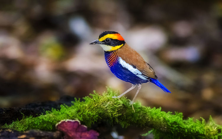 Animal Themes Animal Wildlife Animals In The Wild Band Beauty In Nature Bird Bird Photography Close-up Focus On Foreground Macro Malayan Bansed Pitta Mos Nature One Animal Perching Pitta Plant Thailand
