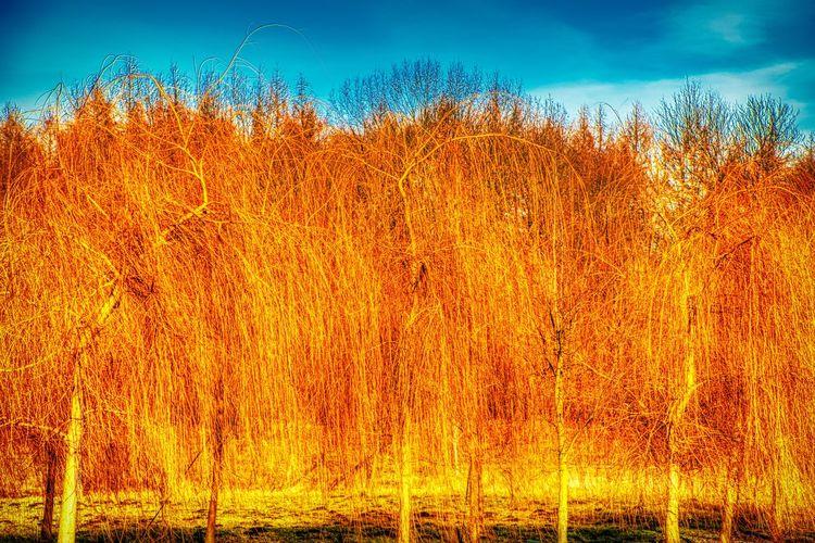 View of trees on field against orange sky