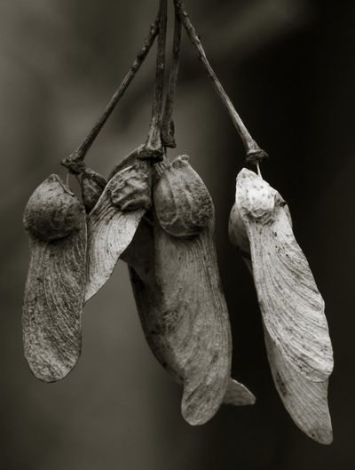 Close-up of maple seeds