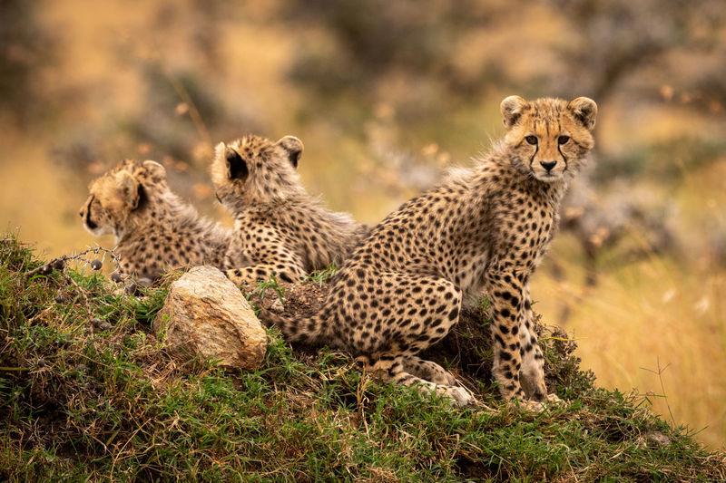 Cheetahs sitting on field