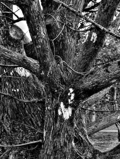 Bad Condition Black & White Blackandwhite HDR HDR Collection Monochrome Tree Tree Trunk Winter Winter Trees Wood The Great Outdoors With Adobe
