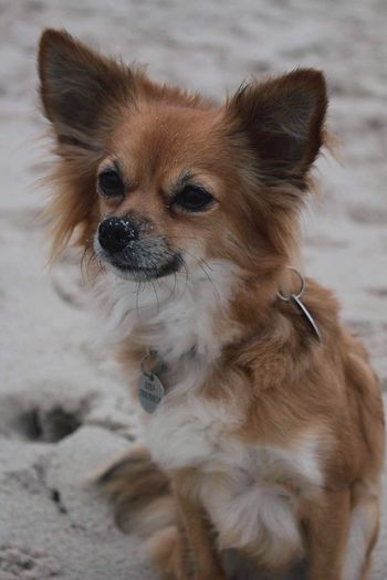 Dog Pets Domestic Animals Mammal Animal Themes One Animal Chihuahua Chihuahuas<3 Beach Dogphotography No People Close-up Portrait Day Outdoors