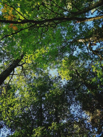 Tree Crowns Looking Up Tree Branch Forest Backgrounds Full Frame Sky Green Color Green