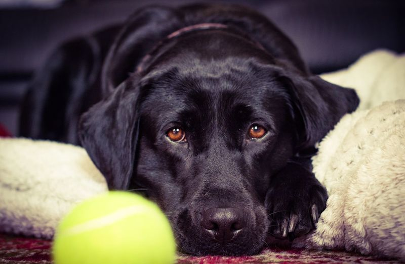 Play with me Dog Pets One Animal Domestic Animals Animal Themes Mammal Black Color Lying Down Indoors  Looking At Camera Portrait Black Labrador Labrador Retriever Relaxation Bed No People Close-up Retriever Day Labrador