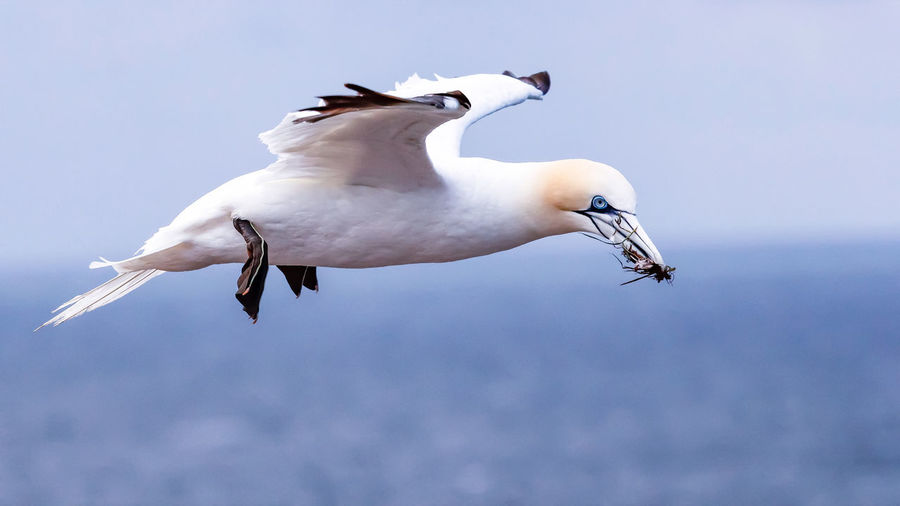 Low angle view of bird flying with prey in sky
