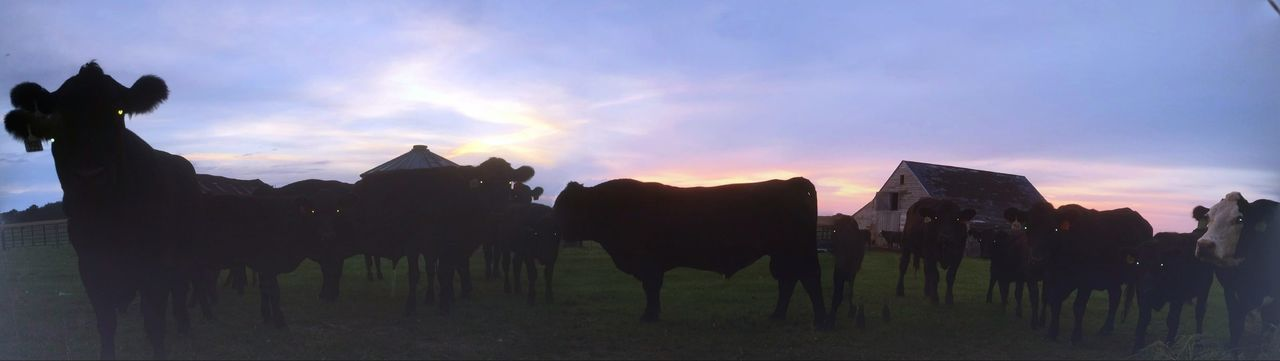 Morning visit Animal Themes Domestic Animals Silhouette Mammal Field Sky Livestock Herbivorous Tranquility Cloud - Sky Blue Outdoors Outline Nature Tranquil Scene Scenics Non-urban Scene No People Zoology Countryside Cows In The Feilds Cows!!! Cows Grazing Moo The Street Photographer - 2017 EyeEm Awards The Great Outdoors - 2017 EyeEm Awards