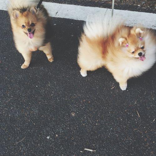 Portrait Of Two Pomeranians