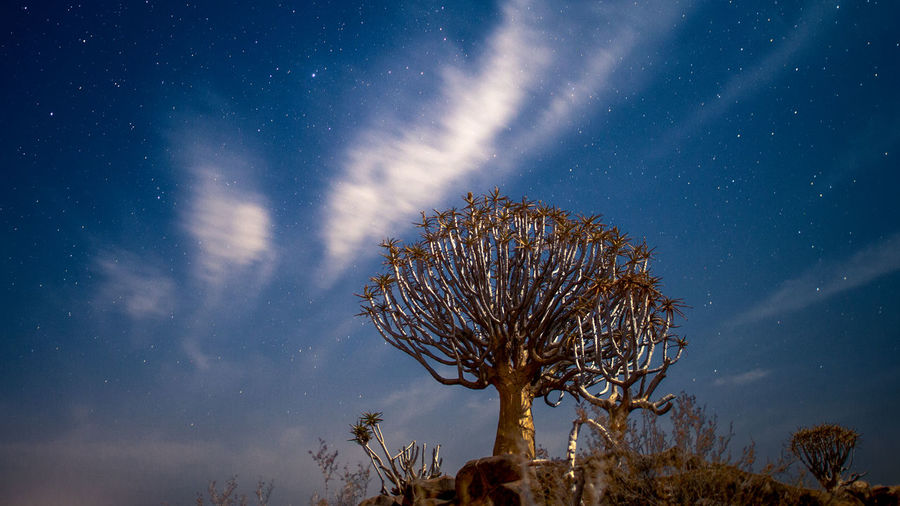 Quiver tree in the moon shine under starry sky with white clouds