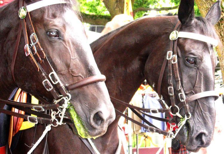 Horses RoyalCanadianMountedPolice Rcmp Canada Parade